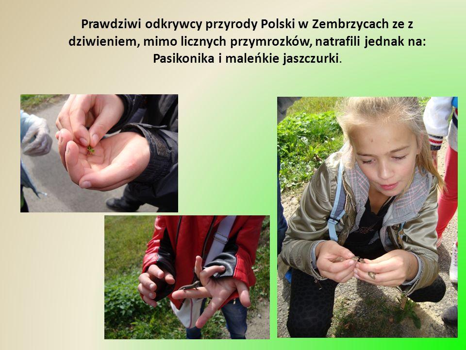 Prawdziwi odkrywcy przyrody Polski w Zembrzycach ze z dziwieniem, mimo licznych przymrozków, natrafili jednak na: Pasikonika i maleńkie jaszczurki.