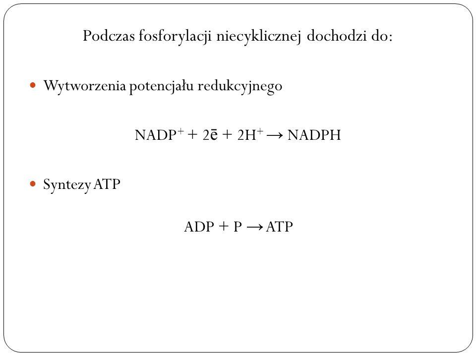 Podczas fosforylacji niecyklicznej dochodzi do: Wytworzenia potencjału redukcyjnego NADP + + 2 ē + 2H + NADPH Syntezy ATP ADP + P ATP