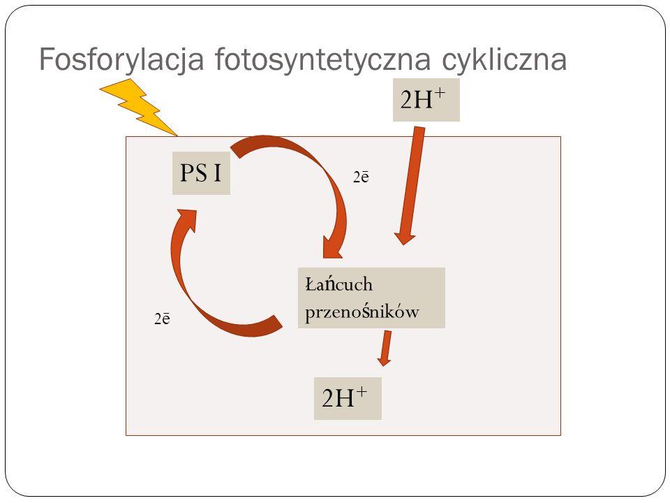 Fosforylacja fotosyntetyczna cykliczna PS I Ła ń cuch przeno ś ników 2H + 2ē2ē 2ē2ē