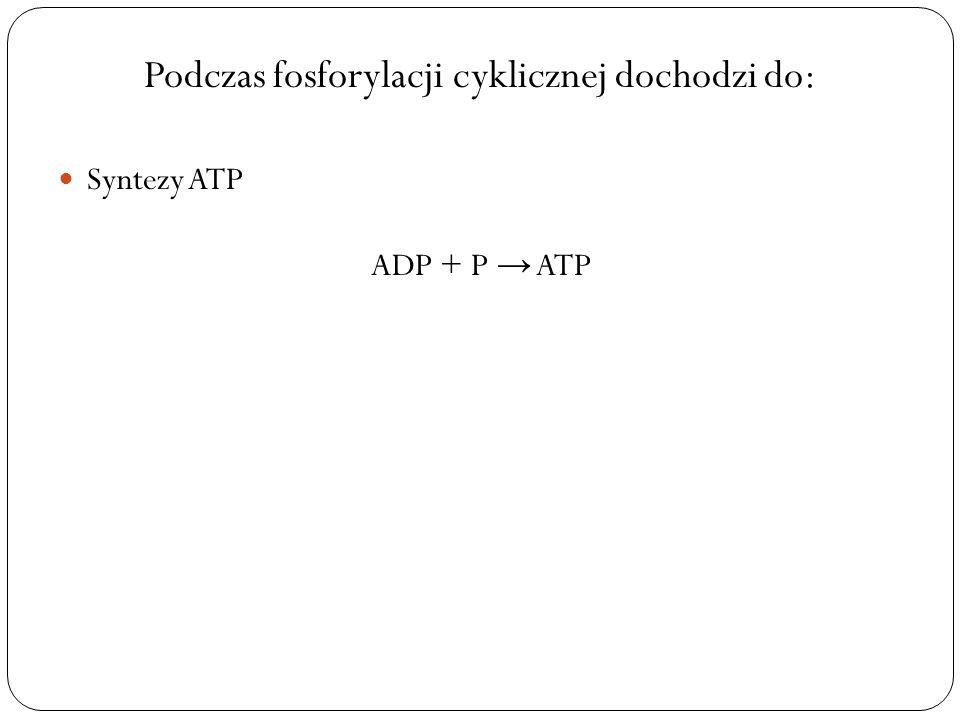 Podczas fosforylacji cyklicznej dochodzi do: Syntezy ATP ADP + P ATP