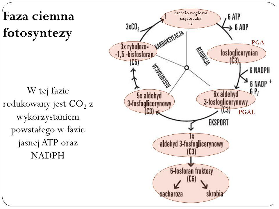 Faza ciemna fotosyntezy W tej fazie redukowany jest CO 2 z wykorzystaniem powstałego w fazie jasnej ATP oraz NADPH PGA PGAL Sze ś cio w ę glowa cz ą s