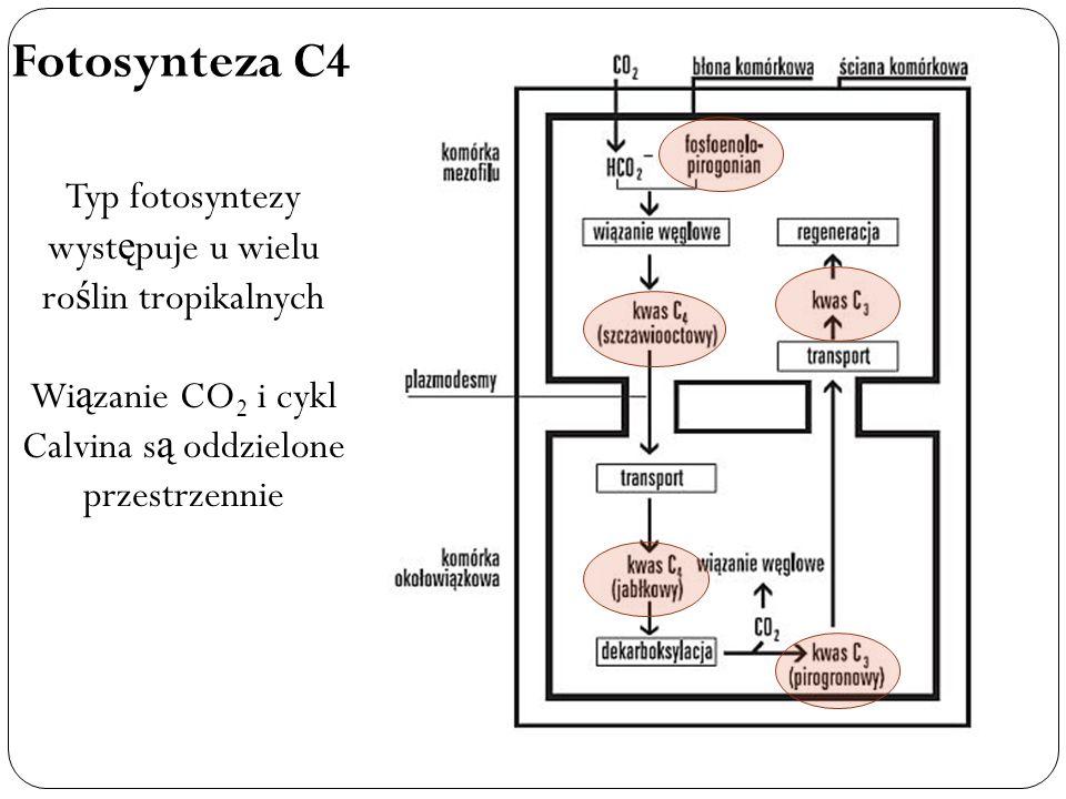Fotosynteza C4 Typ fotosyntezy wyst ę puje u wielu ro ś lin tropikalnych Wi ą zanie CO 2 i cykl Calvina s ą oddzielone przestrzennie