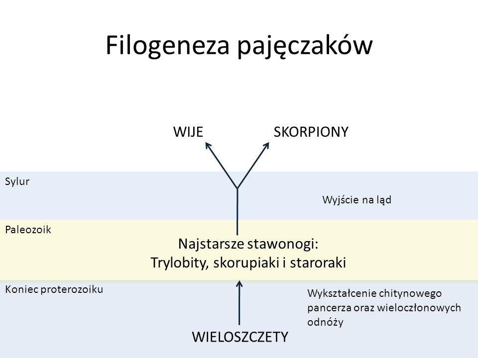 Sylur Paleozoik Koniec proterozoiku Filogeneza pajęczaków WIELOSZCZETY Wykształcenie chitynowego pancerza oraz wieloczłonowych odnóży Najstarsze stawo