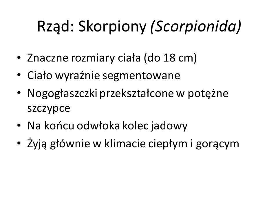 Rząd: Skorpiony (Scorpionida) Znaczne rozmiary ciała (do 18 cm) Ciało wyraźnie segmentowane Nogogłaszczki przekształcone w potężne szczypce Na końcu o