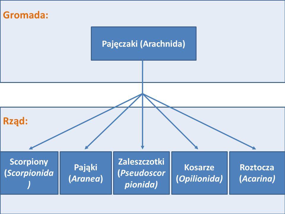 Gromada: Rząd: Scorpiony (Scorpionida ) Roztocza (Acarina) Kosarze (Opilionida) Zaleszczotki (Pseudoscor pionida) Pająki (Aranea) Pajęczaki (Arachnida