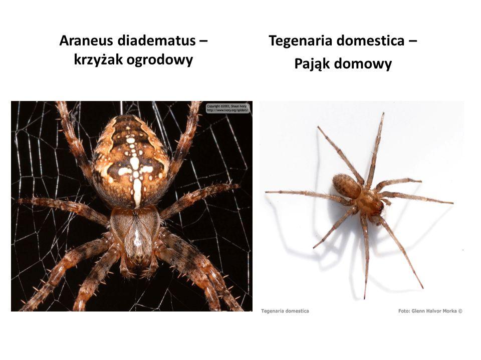 Araneus diadematus – krzyżak ogrodowy Tegenaria domestica – Pająk domowy
