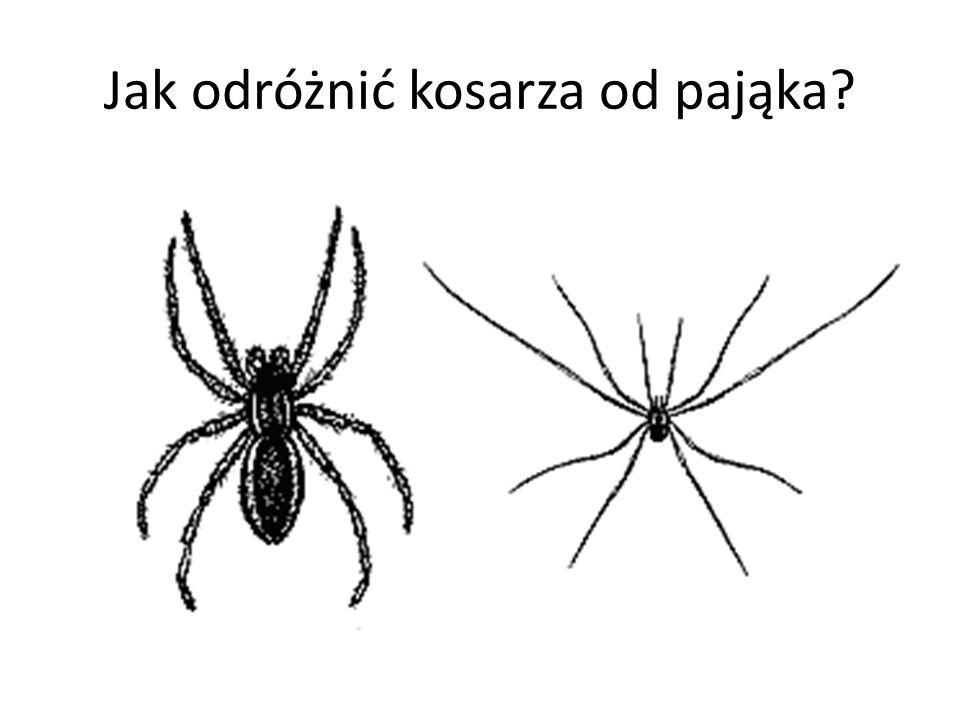 Jak odróżnić kosarza od pająka?