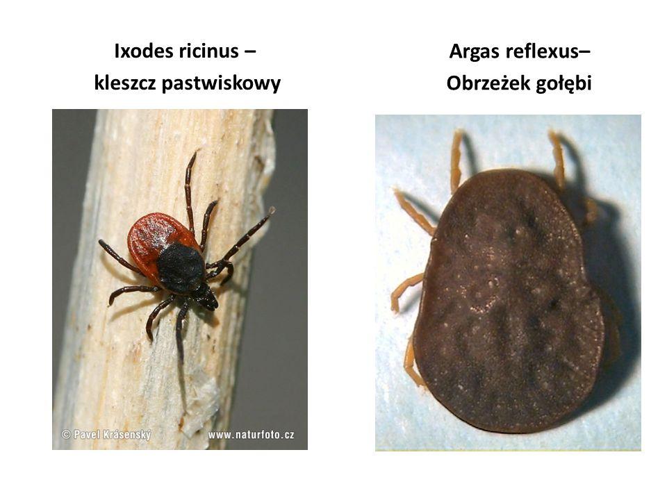 Ixodes ricinus – kleszcz pastwiskowy Argas reflexus– Obrzeżek gołębi