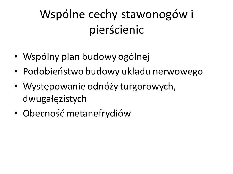 Wspólne cechy stawonogów i pierścienic Wspólny plan budowy ogólnej Podobieństwo budowy układu nerwowego Występowanie odnóży turgorowych, dwugałęzistyc