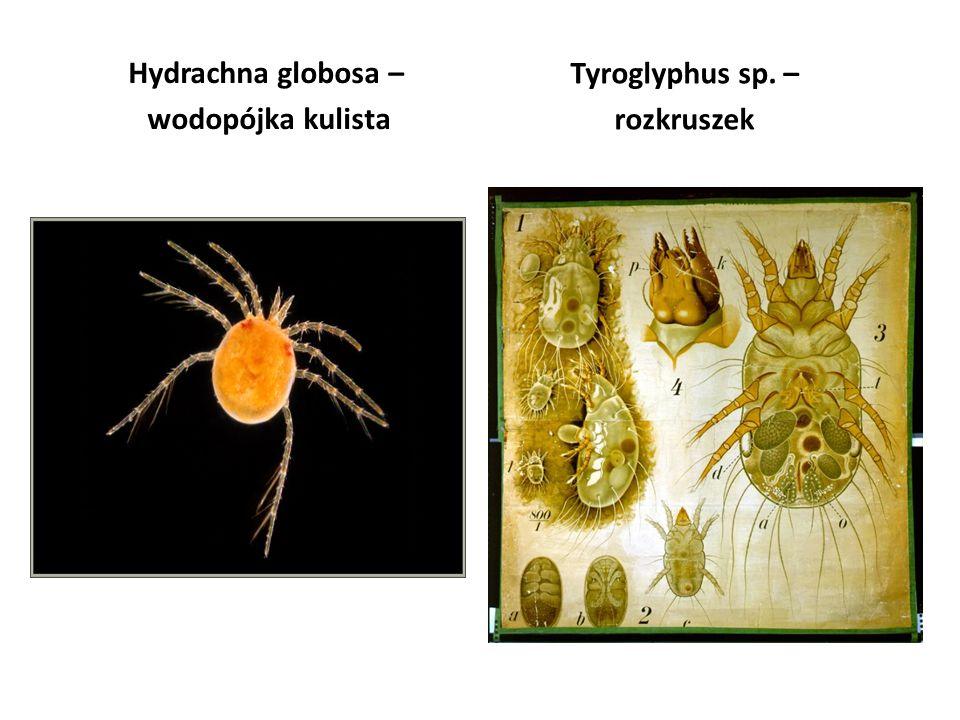 Hydrachna globosa – wodopójka kulista Tyroglyphus sp. – rozkruszek