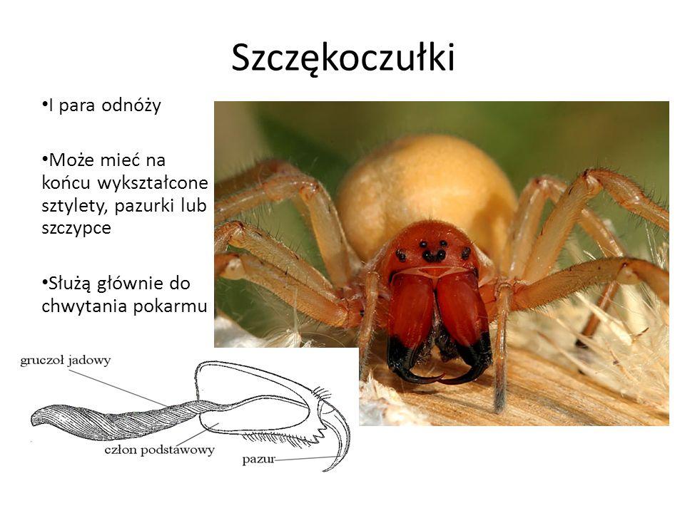 Szczękoczułki I para odnóży Może mieć na końcu wykształcone sztylety, pazurki lub szczypce Służą głównie do chwytania pokarmu