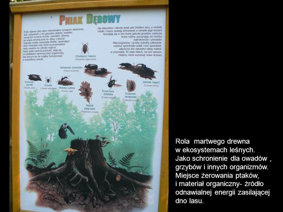 Rola martwego drewna w ekosystemach leśnych. Jako schronienie dla owadów, grzybów i innych organizmów. Miejsce żerowania ptaków, i materiał organiczny