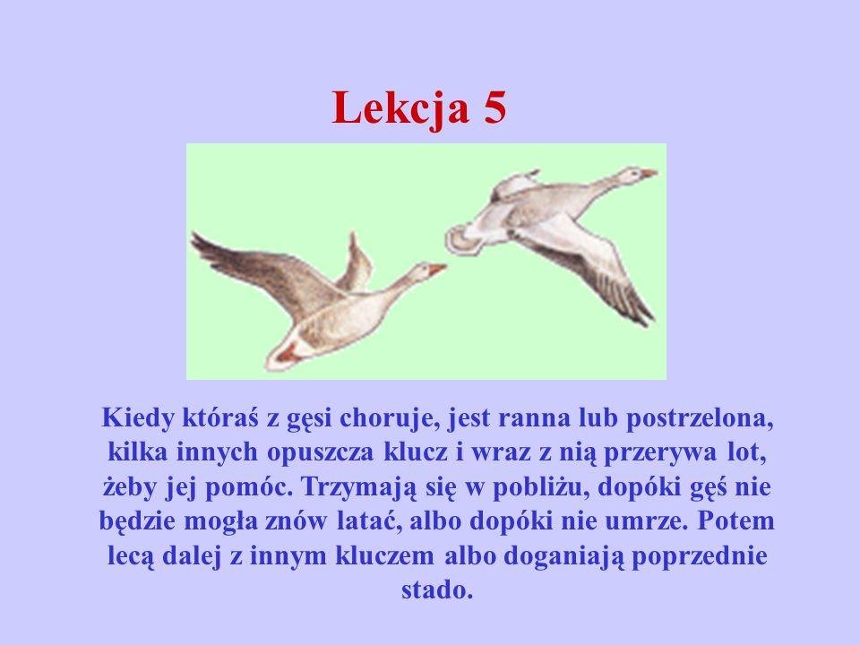 Lekcja 5 Kiedy któraś z gęsi choruje, jest ranna lub postrzelona, kilka innych opuszcza klucz i wraz z nią przerywa lot, żeby jej pomóc. Trzymają się