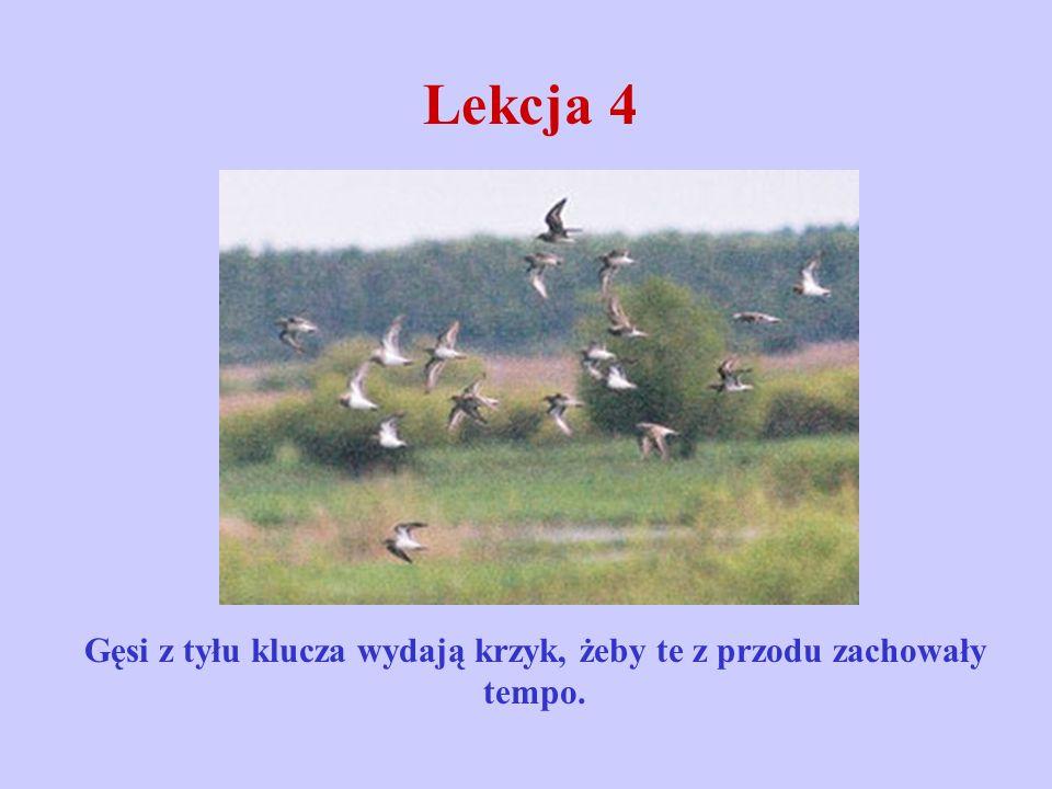 Lekcja 4 Gęsi z tyłu klucza wydają krzyk, żeby te z przodu zachowały tempo.