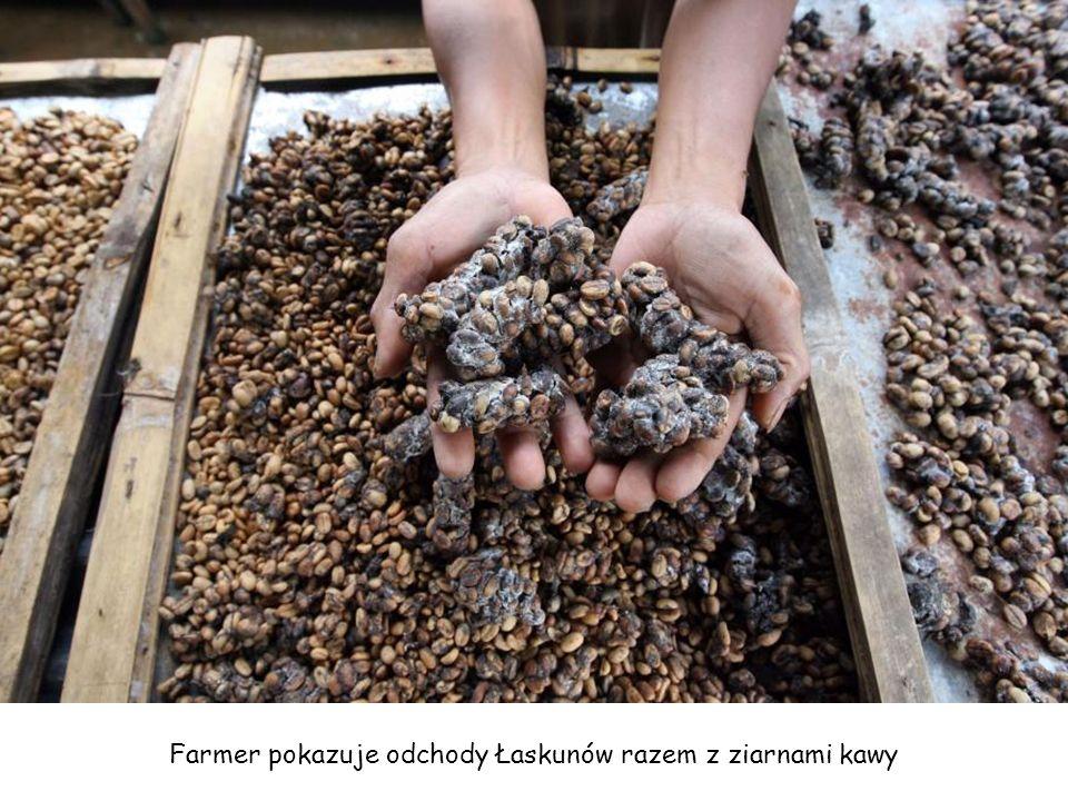 Odchody zwierzęcia z rodziny łaszowatych o nazwie Łaskun Muzang. Właśnie z nich robi się najdroższą kawę świata Kopi Luwak