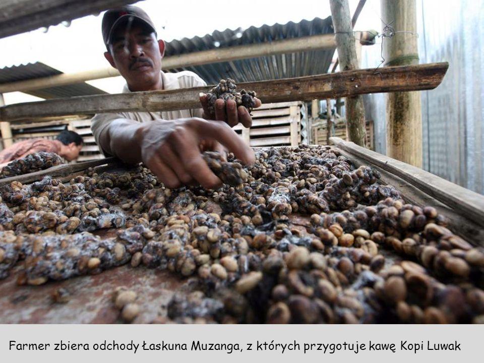 Farmer pokazuje odchody Łaskunów razem z ziarnami kawy