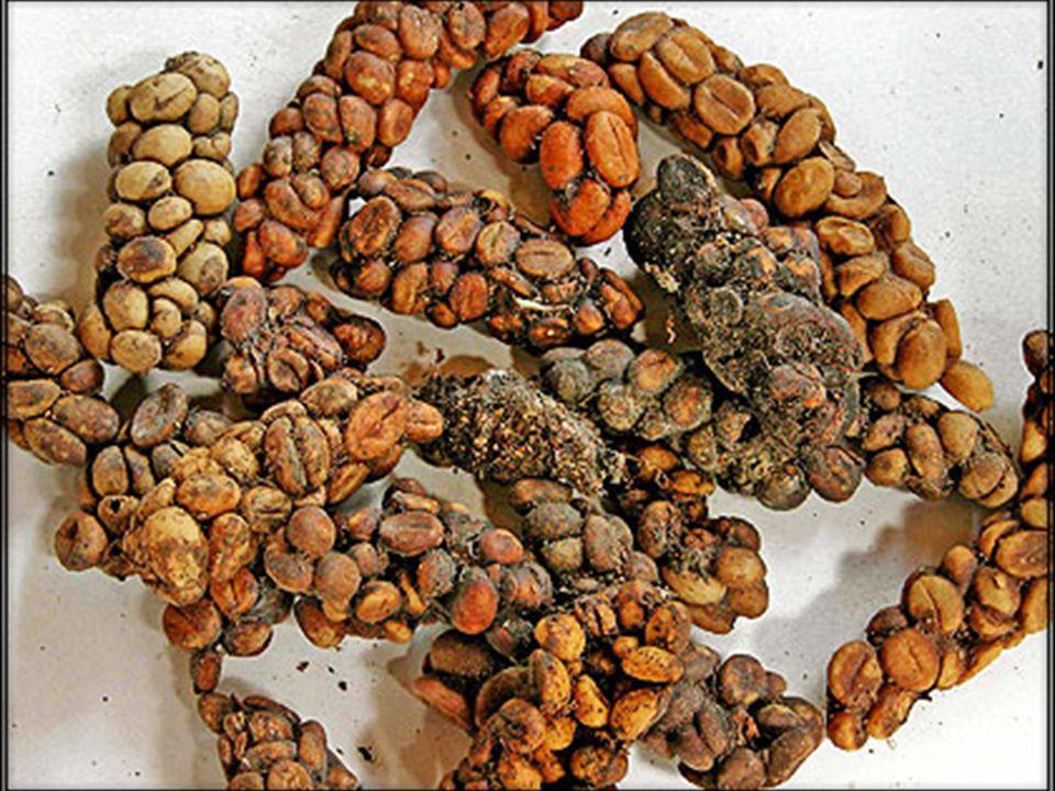 Farmer zbiera odchody Łaskuna Muzanga, z których przygotuje kawę Kopi Luwak