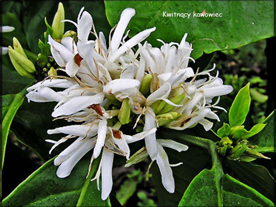 Kopi luwak, kawa luwak to gatunek kawy pochodzący z płd –wsch. Azji, wytwarzany z ziaren kawy, które wydobyte są z odchodów zwierzęcia z rodziny łaszo