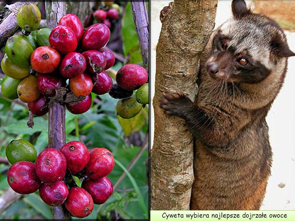 W czasie nocnych łowów w gałęziach drzew indonezyjskiej dżungli cyweta poszukuje swego największego przysmaku: dojrzałych, słodkich, pięknie wybarwion