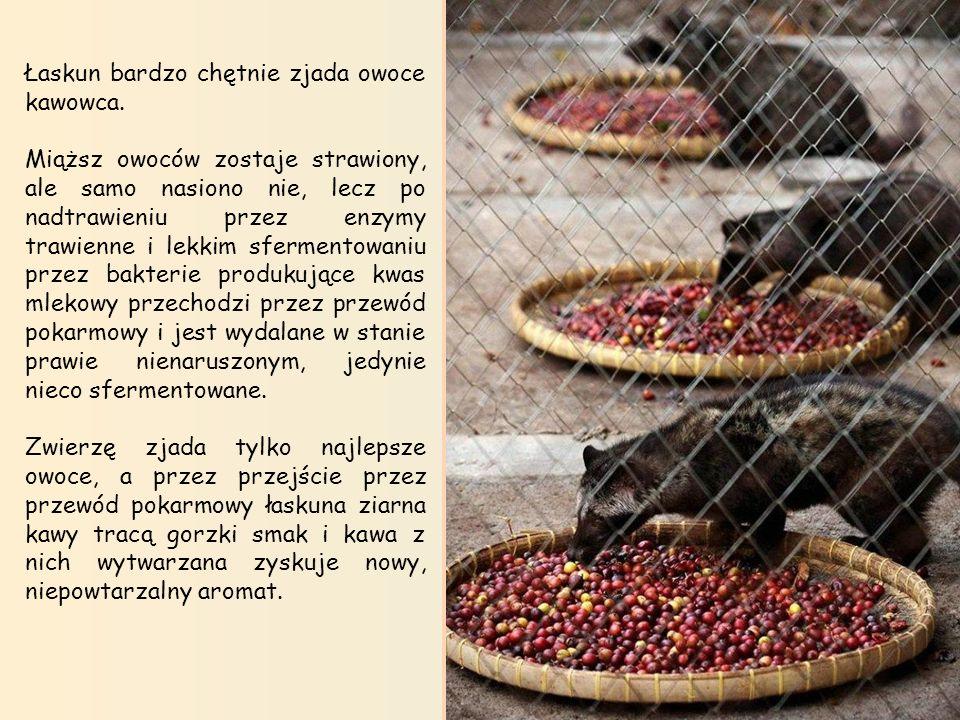 Produkcja kawy Kopi Luwak. Łaskun Muzang w swojej klatce