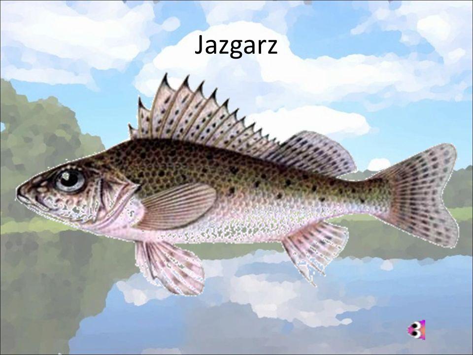 Jazgarz