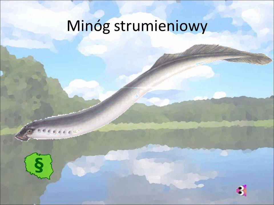 Minóg strumieniowy