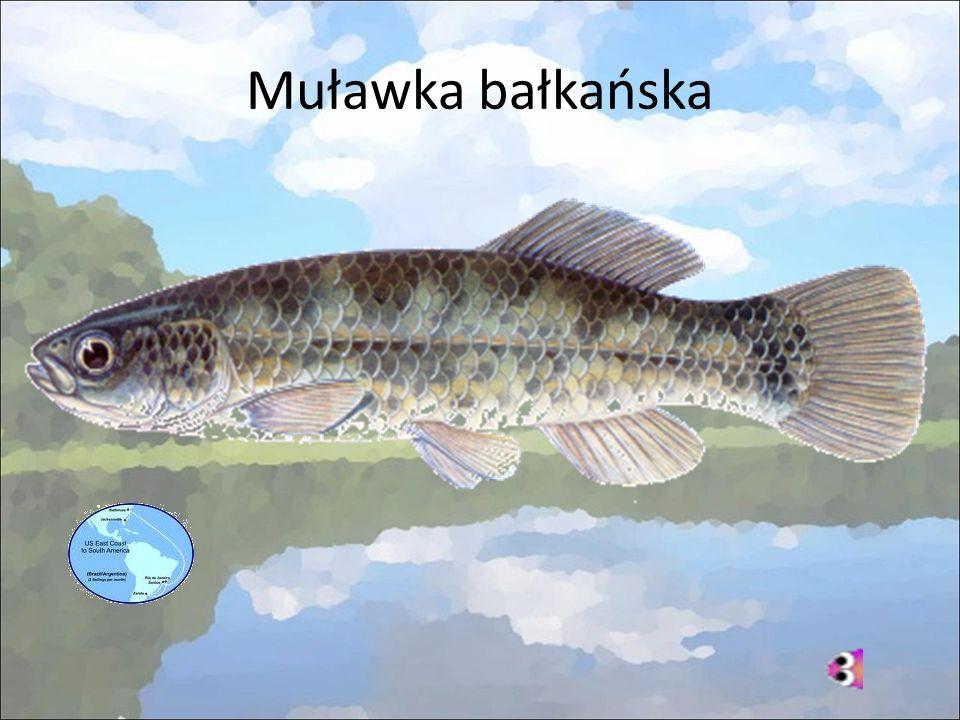 Muławka bałkańska