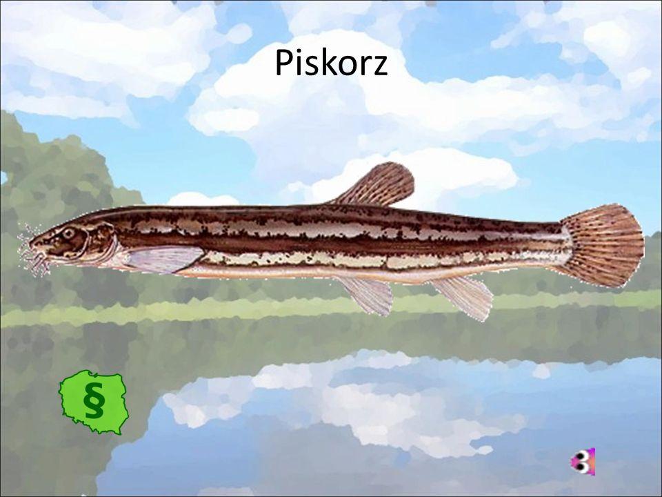 Piskorz