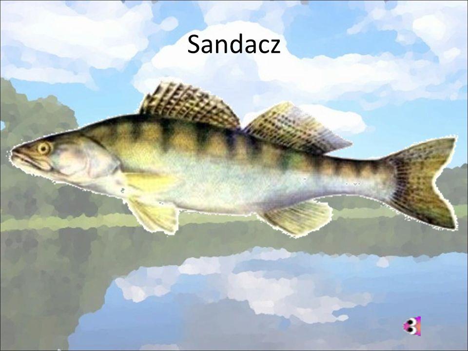 Sandacz