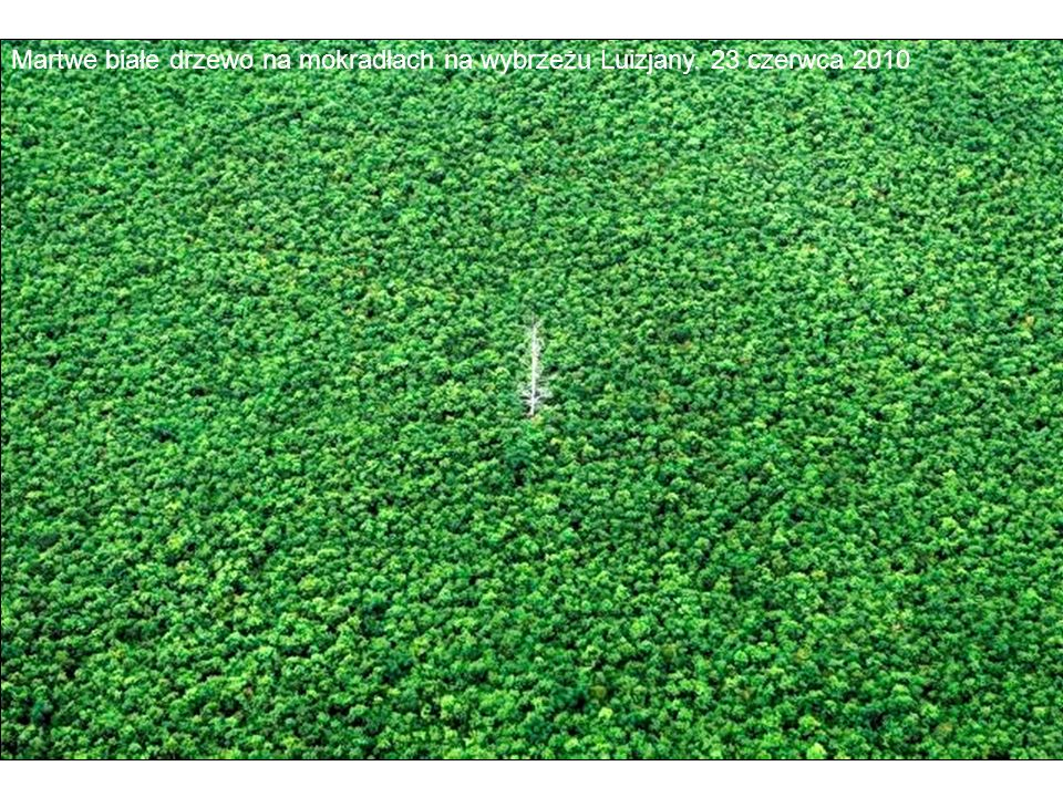 Martwe białe drzewo na mokradłach na wybrzeżu Luizjany. 23 czerwca 2010
