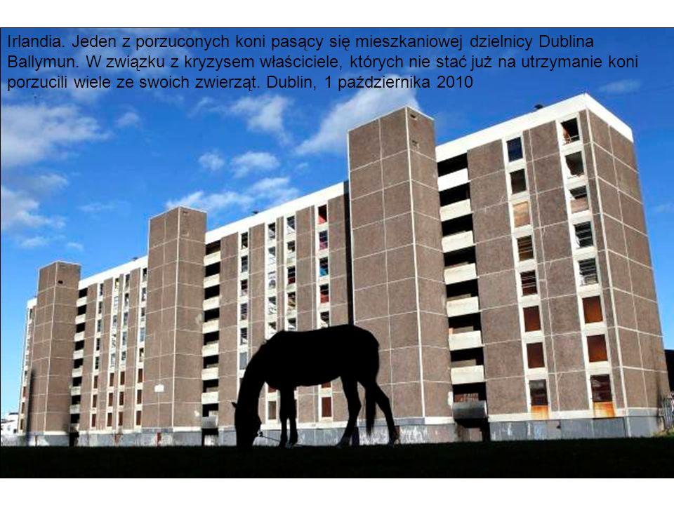 Irlandia. Jeden z porzuconych koni pasący się mieszkaniowej dzielnicy Dublina Ballymun. W związku z kryzysem właściciele, których nie stać już na utrz