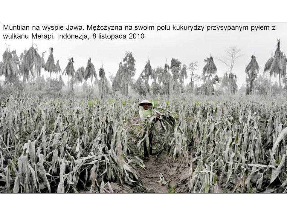 Muntilan na wyspie Jawa. Mężczyzna na swoim polu kukurydzy przysypanym pyłem z wulkanu Merapi. Indonezja, 8 listopada 2010