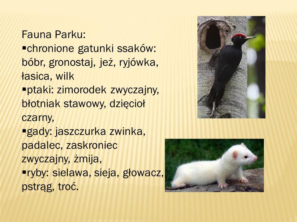 Fauna Parku: chronione gatunki ssaków: bóbr, gronostaj, jeż, ryjówka, łasica, wilk ptaki: zimorodek zwyczajny, błotniak stawowy, dzięcioł czarny, gady