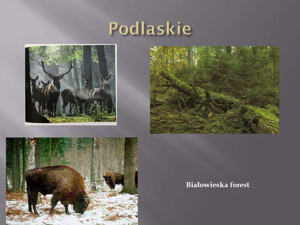 Białowieska forest