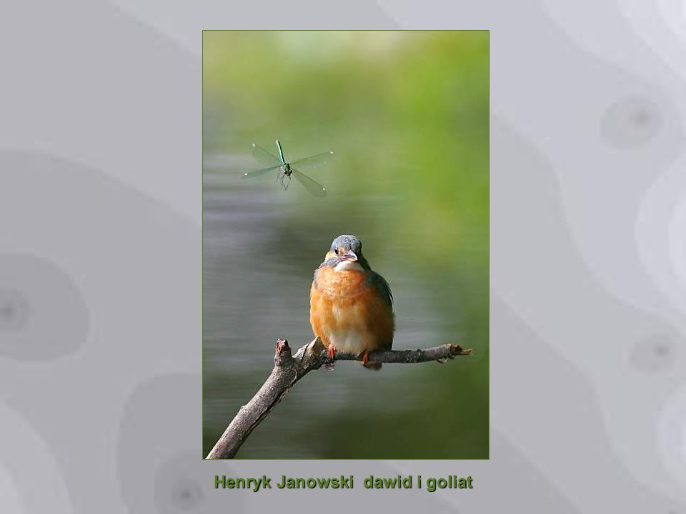 Henryk Janowski dawid i goliat
