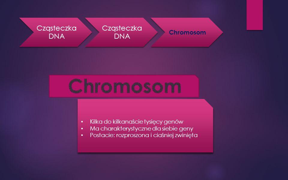 Cząsteczka DNA Chromosom Kilka do kilkanaście tysięcy genów Ma charakterystyczne dla siebie geny Postacie: rozproszona i ciaśniej zwinięta