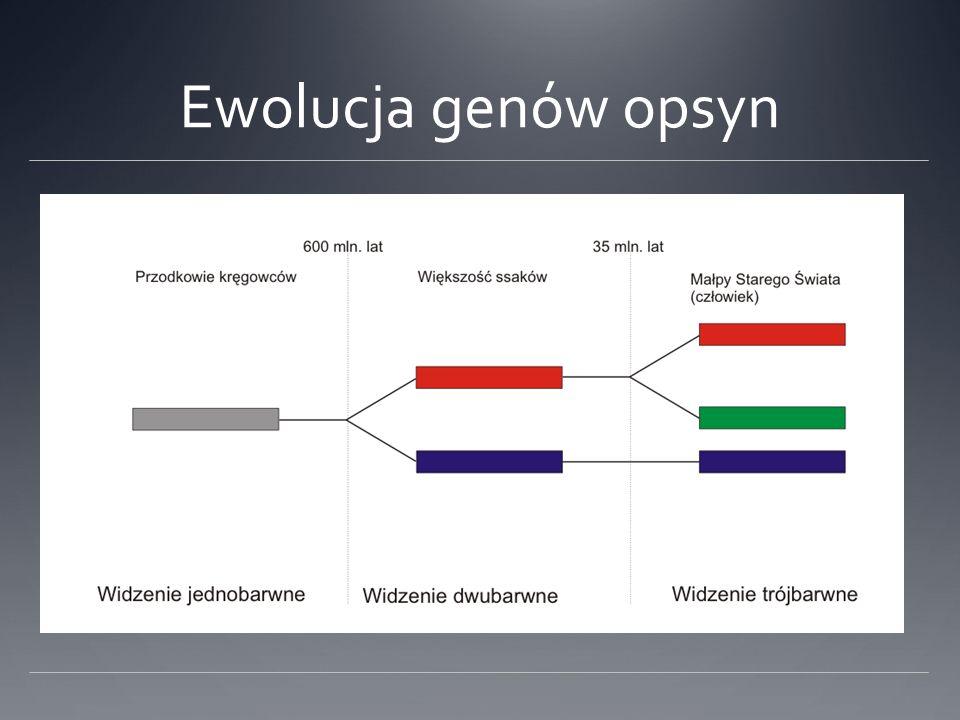 Ewolucja genów opsyn