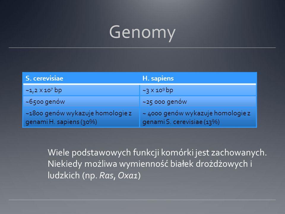 Genomy S. cerevisiaeH. sapiens ~1,2 x 10 7 bp~3 x 10 9 bp ~6500 genów~25 000 genów ~1800 genów wykazuje homologie z genami H. sapiens (30%) ~ 4000 gen