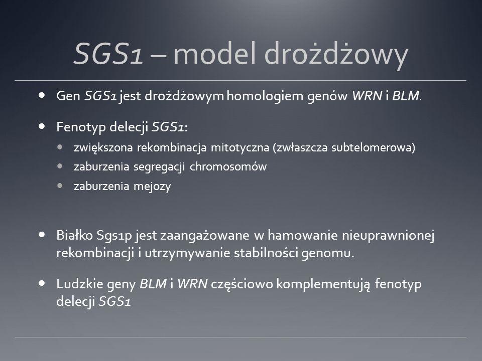 SGS1 – model drożdżowy Gen SGS1 jest drożdżowym homologiem genów WRN i BLM. Fenotyp delecji SGS1: zwiększona rekombinacja mitotyczna (zwłaszcza subtel