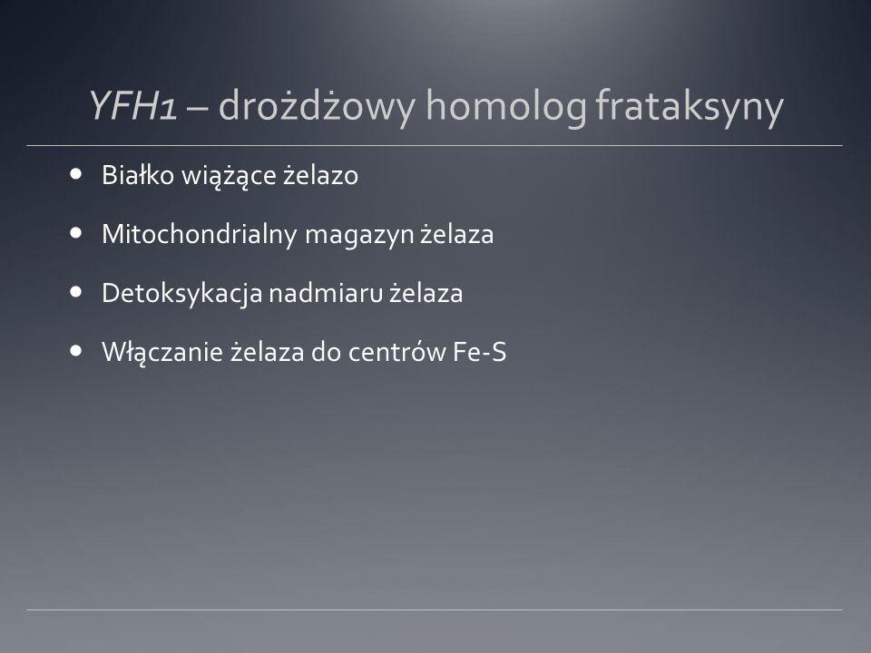 YFH1 – drożdżowy homolog frataksyny Białko wiążące żelazo Mitochondrialny magazyn żelaza Detoksykacja nadmiaru żelaza Włączanie żelaza do centrów Fe-S