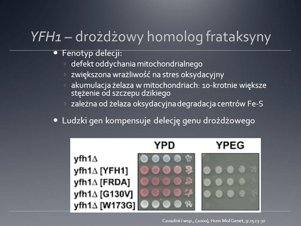 YFH1 – drożdżowy homolog frataksyny Fenotyp delecji: defekt oddychania mitochondrialnego zwiększona wrażliwość na stres oksydacyjny akumulacja żelaza w mitochondriach: 10-krotnie większe stężenie od szczepu dzikiego zależna od żelaza oksydacyjna degradacja centrów Fe-S Ludzki gen kompensuje delecję genu drożdżowego Cavadini i wsp., (2000), Hum Mol Genet, 9:2523-30