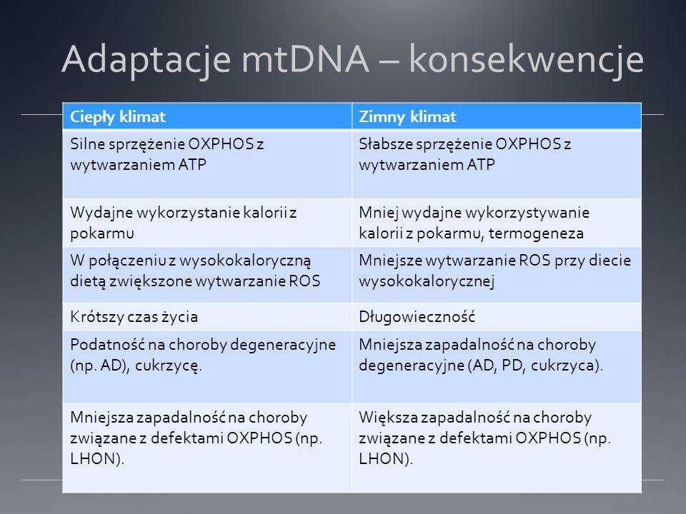 Adaptacje mtDNA – konsekwencje Ciepły klimatZimny klimat Silne sprzężenie OXPHOS z wytwarzaniem ATP Słabsze sprzężenie OXPHOS z wytwarzaniem ATP Wydajne wykorzystanie kalorii z pokarmu Mniej wydajne wykorzystywanie kalorii z pokarmu, termogeneza W połączeniu z wysokokaloryczną dietą zwiększone wytwarzanie ROS Mniejsze wytwarzanie ROS przy diecie wysokokalorycznej Krótszy czas życiaDługowieczność Podatność na choroby degeneracyjne (np.