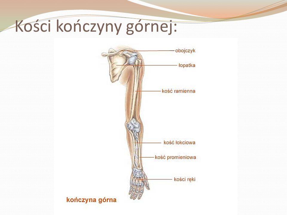Kości kończyny górnej: