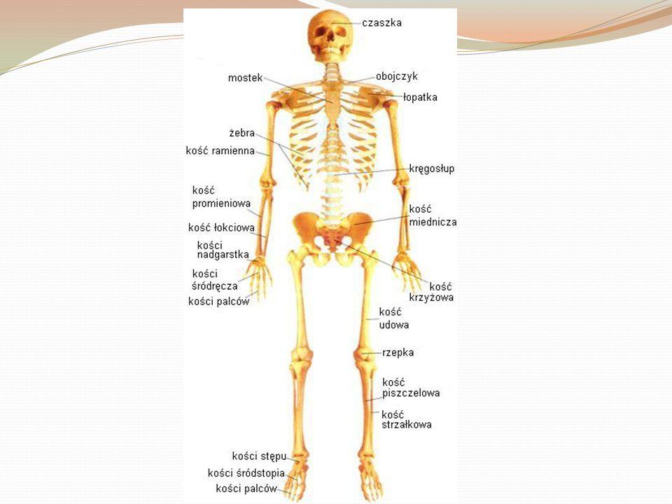szkielet Szkielet stanowi rusztowanie ciała i oparcie dla mięśni.
