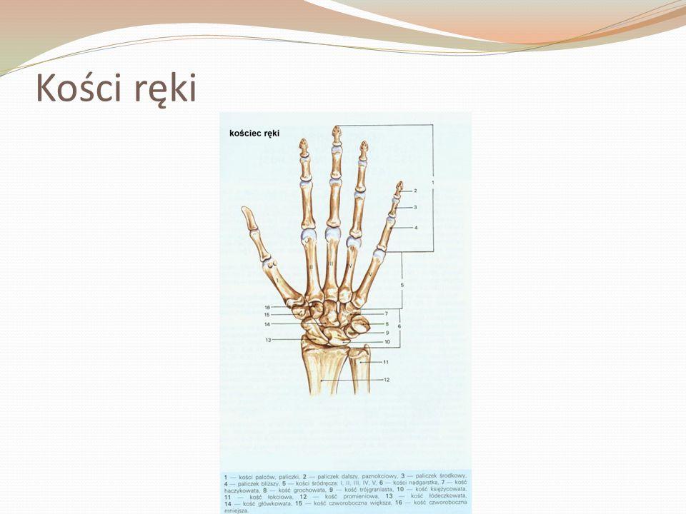 Kości ręki