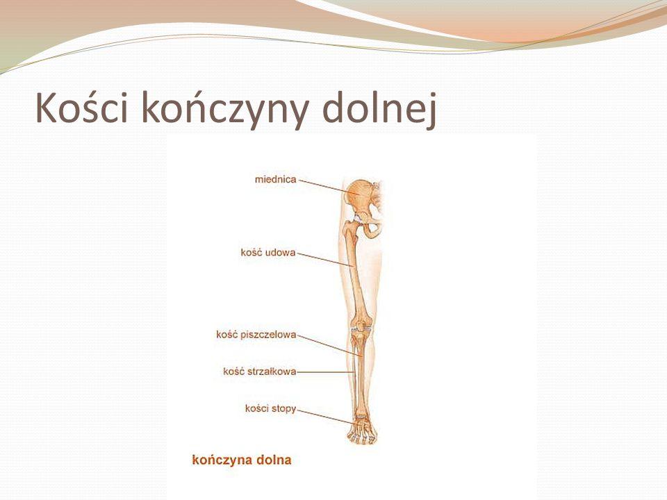 Kości kończyny dolnej