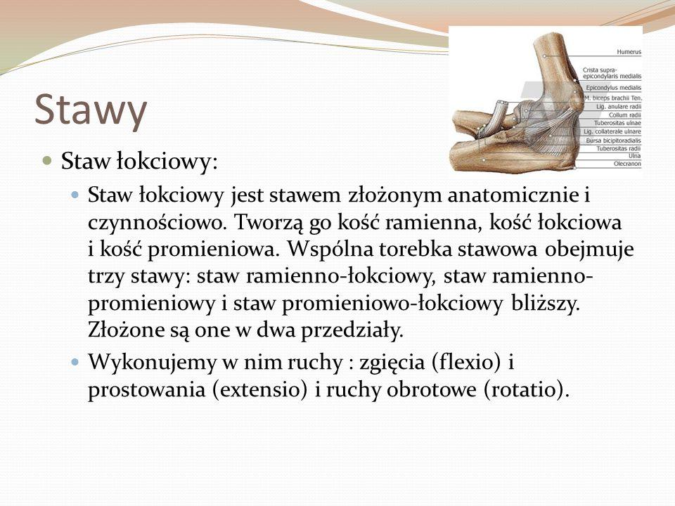 Stawy Staw łokciowy: Staw łokciowy jest stawem złożonym anatomicznie i czynnościowo. Tworzą go kość ramienna, kość łokciowa i kość promieniowa. Wspóln