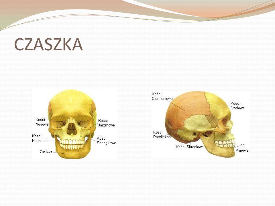 Czaszka Czaszka to kostne rusztowanie głowy.