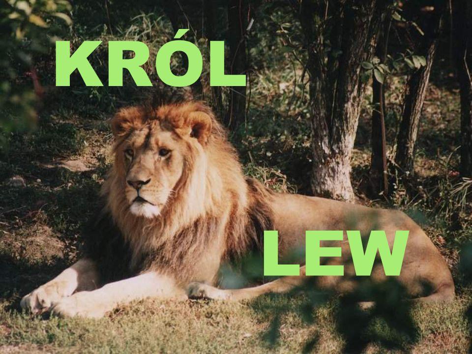 Król Lew postanowił wybudować dla swoich poddanych schronienie, ale to wymagało szeregu zezwoleń.