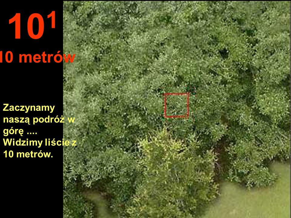 Zaczynamy naszą podróż w górę.... Widzimy liście z 10 metrów. 10 1 10 metrów